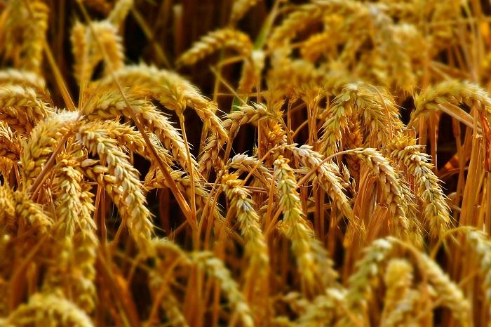 Pšenica do chlebíka a rožkov